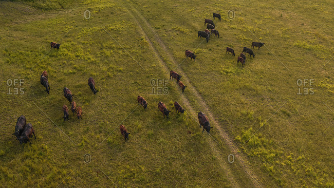 Aerial view of a herd of Black Angus cows grazing on the hills near Rossoreggio, Emilia-Romagna, Italy.