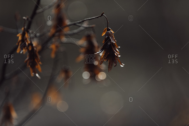 Close up of brown leaves on a branch with water droplets in fall
