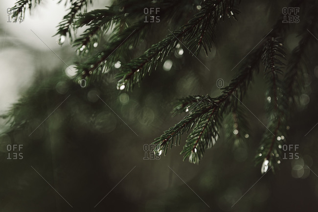 Close up of branches on a pine tree with water droplets