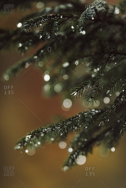 Branches on a pine tree with water droplets up close