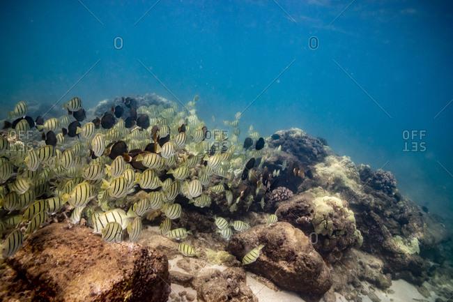 Schools of black and yellow fish swimming in the hawaiian ocean