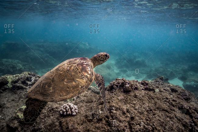 Sea turtle floats above a coral reef off oahu, hawaii