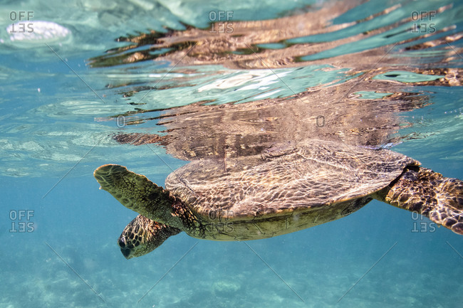 Sea turtle floats at the surface of the clear waters off oahu, hawaii