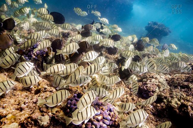 Schools of black and yellow fish swim above hawaiian coral reef