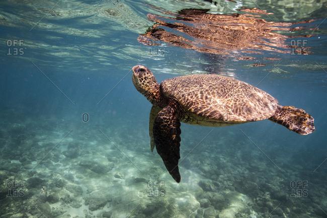 Sea turtle swims below ocean surface in oahu, hawaii