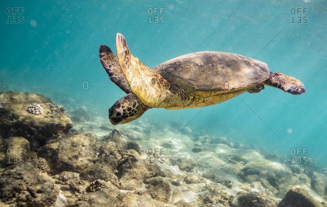 Sea turtle swims towards the sea floor of oahu, hawaii
