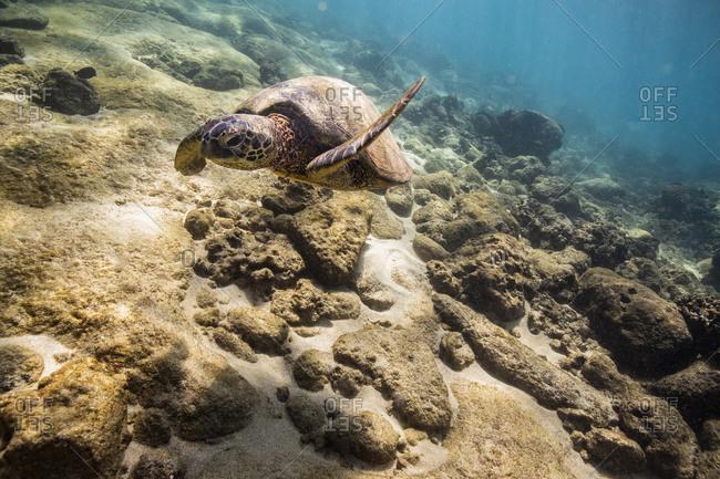 Sea turtle swims above the ocean floor off oahu, hawaii