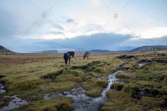 Icelandic horses grazing in rainy weather