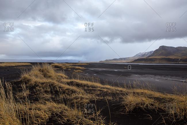 Golden grass on black sand dunes in iceland