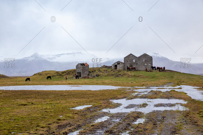 Icelandic horses grazing in rainy weather at abandoned farm
