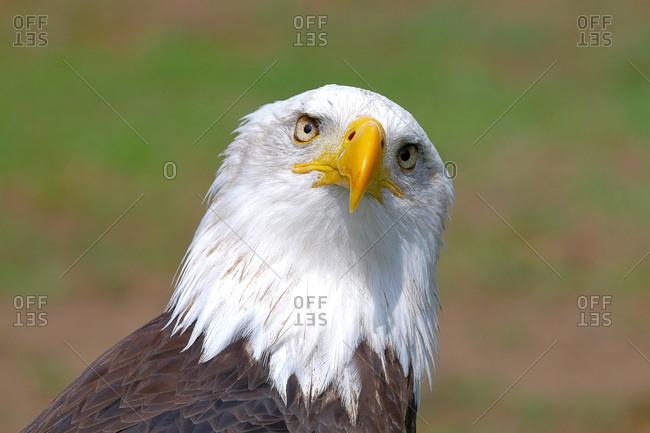Close up image of bald eagle looking at camera
