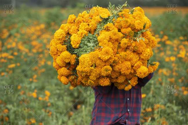 One man carrying a bunch of cempasuchil flowers before day of death