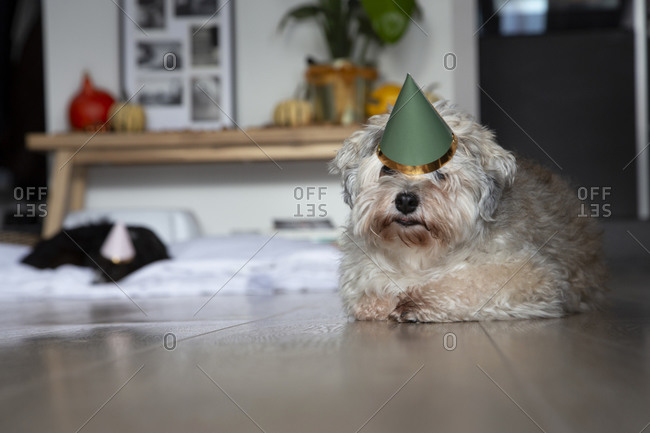Two dogs resting on the floor after a birthday party celebration