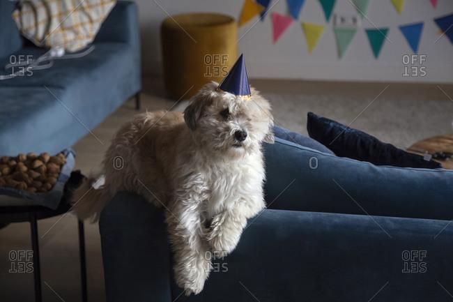 A fluffy white dog celebrating his birthday alone