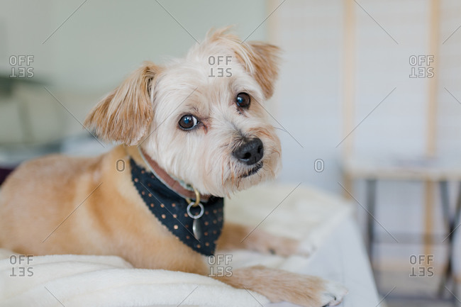 Cute dog wearing bandana resting on a bed