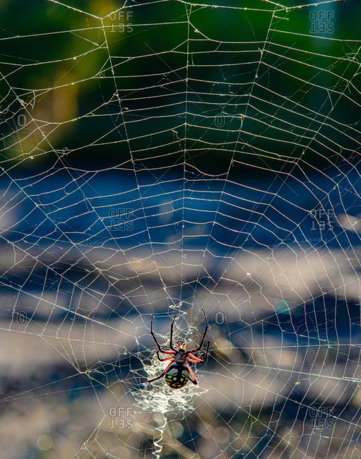 Yellow garden orb weaver spider in paris, texas