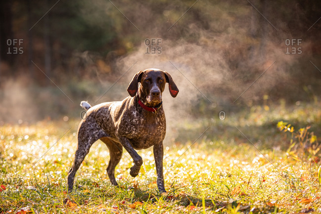 German shorthaired pointer hunting with steam rising on cold morning