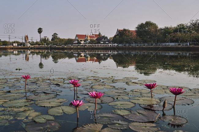 Buriram, Thailand - February 20, 2020: Lotus flowers and a reflecting pond in Buriram town