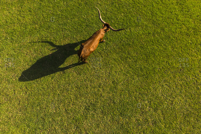 An aerial view of a long horn cow eating grass in the morning
