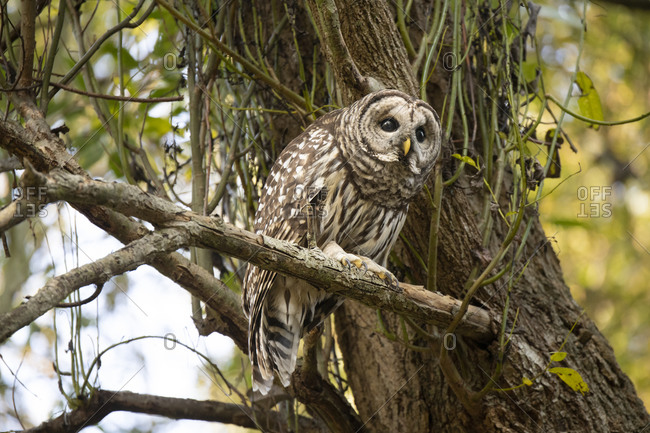 A wild barred owl perched on a tree branch in the forest in Victoria, British Columbia