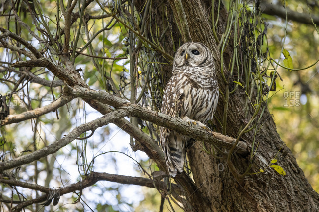 Wild hoot owl perched on a tree branch in the forest in Victoria, British Columbia