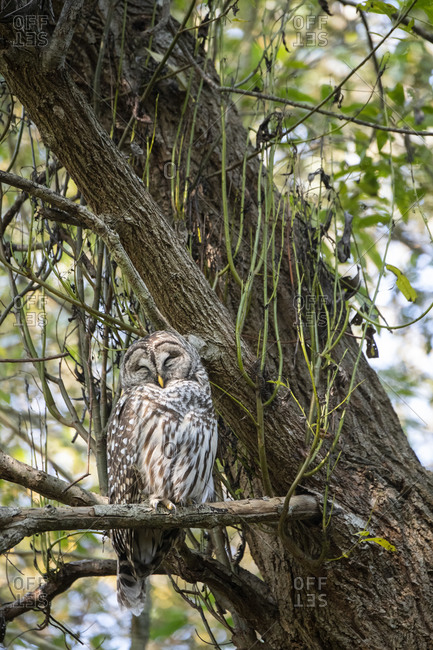 A wild barred owl napping in the forest in Victoria, British Columbia