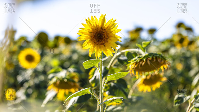 Vibrant sunflowers growing in a field