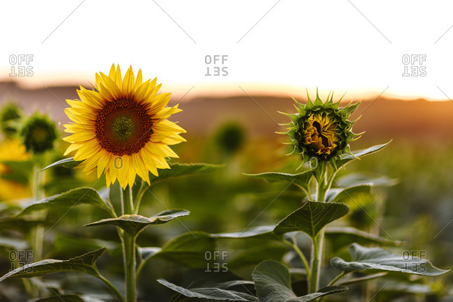 A vibrant sunflower in a field beside one preparing to bloom