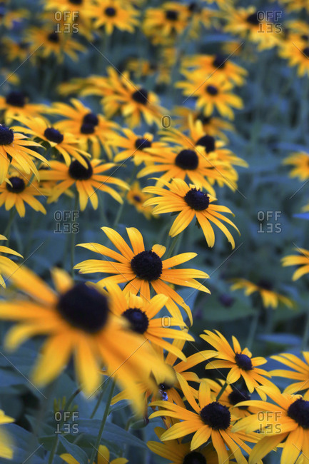 Yellow coneflowers blooming outdoors - from the Offset Collection