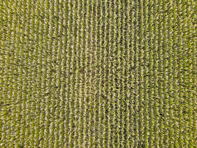 Drone view of green crops growing in field