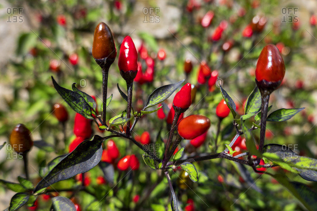 Red chili peppers cultivated in bio garden