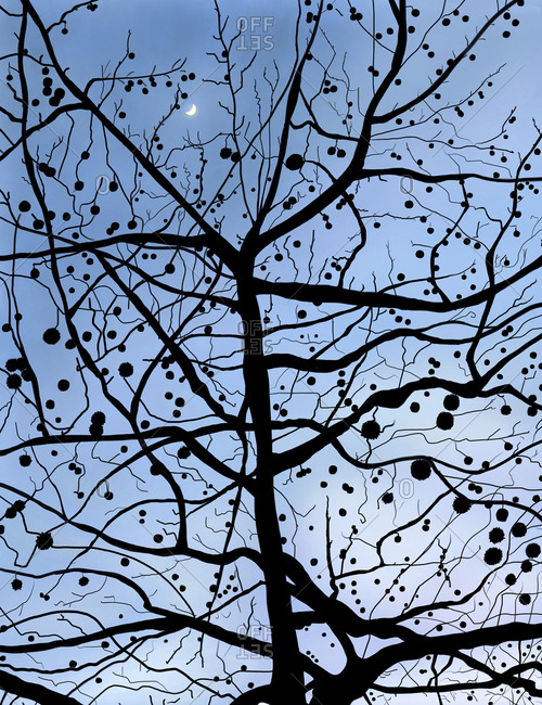 London plane tree with seed pods and moon in sky at dusk