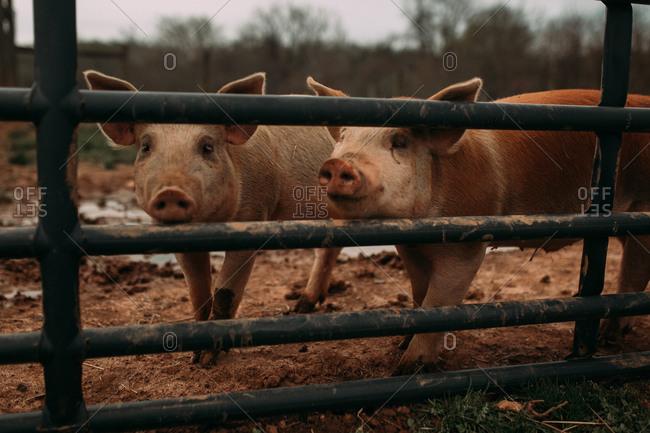 Two pigs peeking through a fence