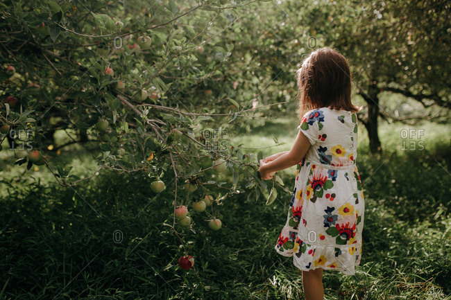 Little girl picking apples in an orchard