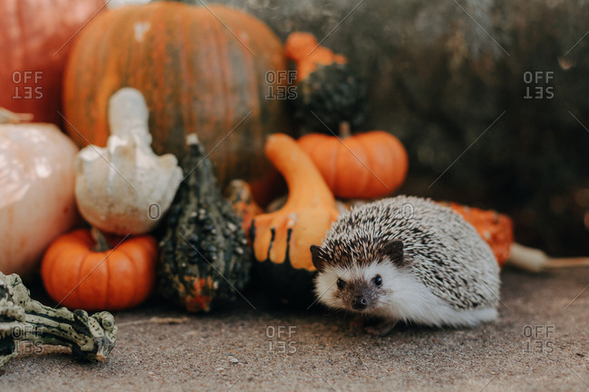 A small hedgehog beside a variety of autumn gourds