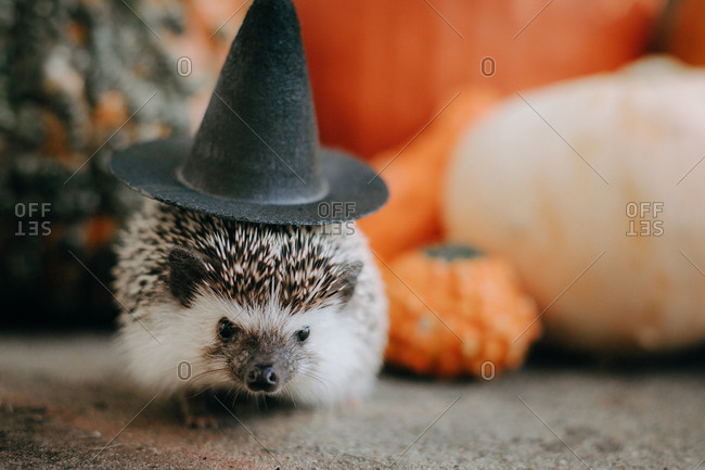 A hedgehog wearing a witch hat beside a variety of autumn gourds