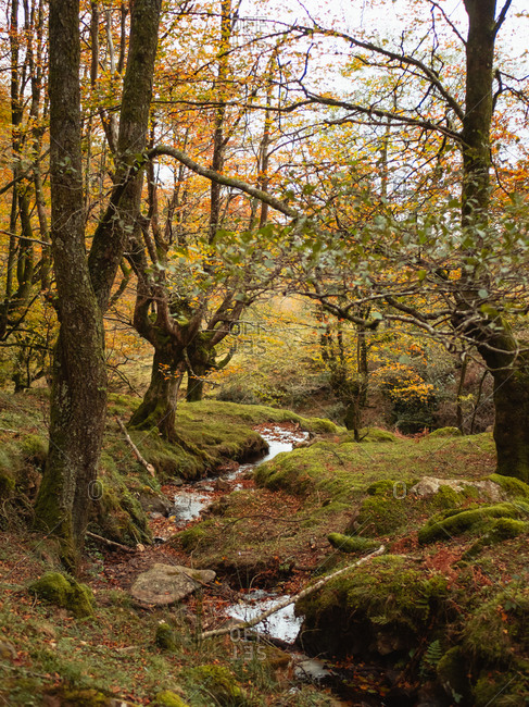 Mystical autumnal beech forest next to a small water stream