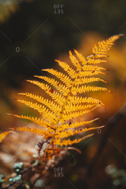 Autumnal fern leaves with blurry background