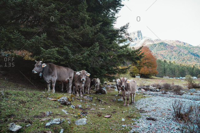 Group of brown cows staring straight ahead beneath a pine tree next to a river in Hecho Valley