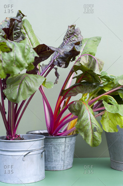 Chard cultivated in metal pots