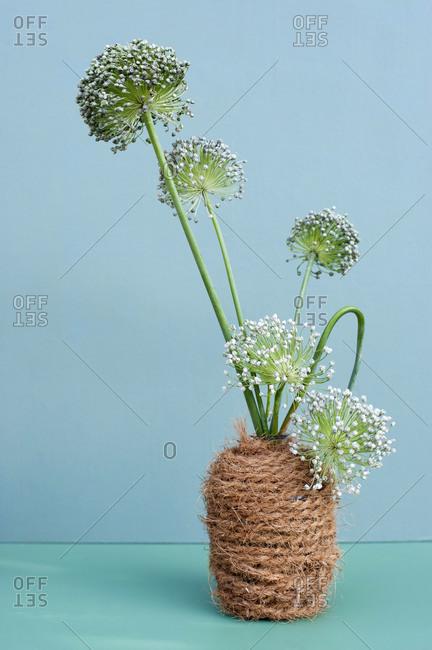 Allium flowers blooming in DIY vase wrapped in rope