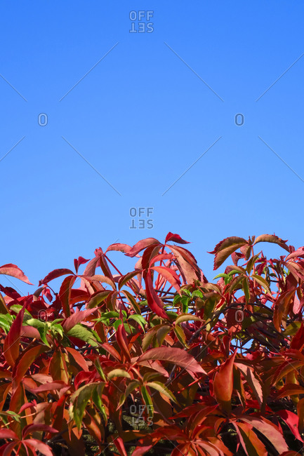 Red wild vine leaf against clear sky