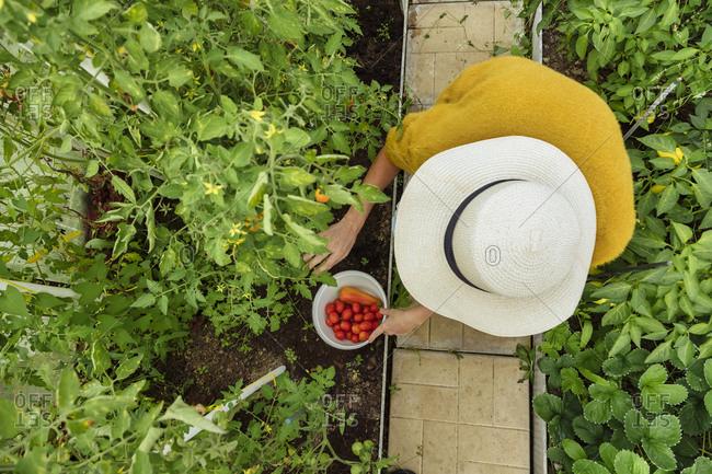 Woman with hat picking fresh tomato and bell pepper while sitting at greenhouse