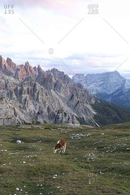 Cow grazing on meadow against Dolomites during sunset- Sesto Dolomites- Alto Adige- Italy