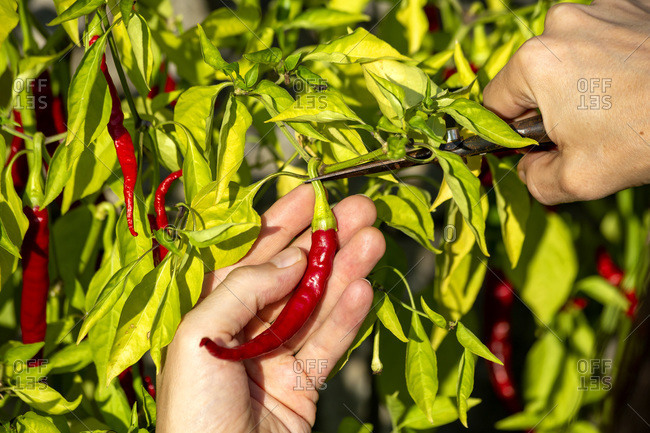 Hands of farmer harvesting chili pepper while cutting stem at organic farm