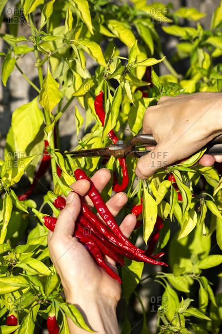 Farmer harvesting fresh red chili peppers at organic farm