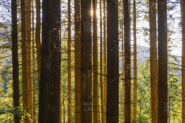 Spruce trees (Picea abies) in Bavarian Forest