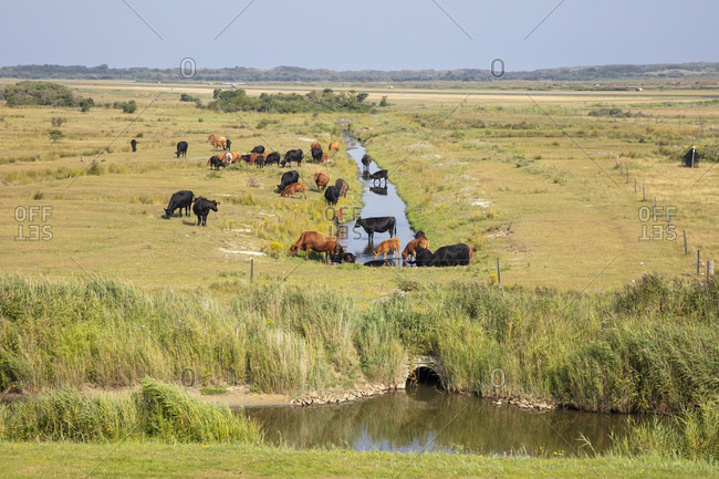 Cattle grazing by canal on grass area during sunny day