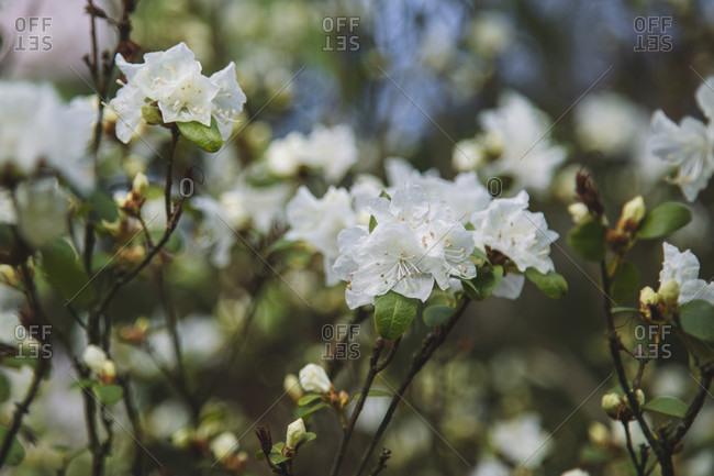 Shrub, flowers, white. In full bloom.