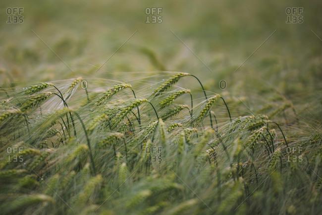Grain field, detailed wide shot.
